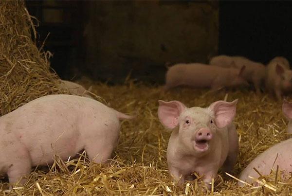 Karro Foods – The Pig Movement Process